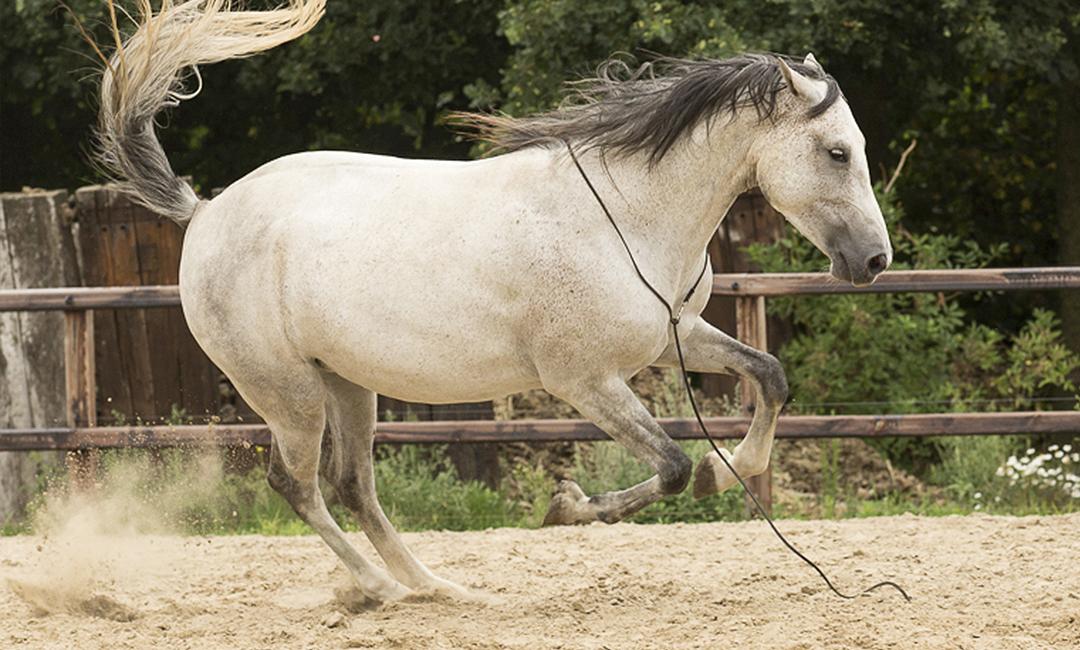 Angelegte Ohren im Pferdetraining