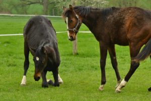 Das Knien zeigen Pferde häufig im Spiel mit anderen Pferden (Foto: Anne Wiegelmann)
