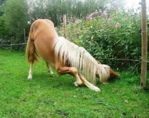 Wenn es sich lohnt, greifen Pferde auch schon mal ungewöhnlich zum Futter (Foto: Mareike Gebhardt)